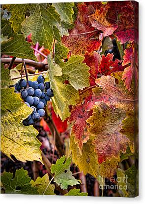 Fall Grapes Canvas Print by Ana V Ramirez