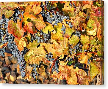 Fall Grapes Canvas Print by Carol Groenen