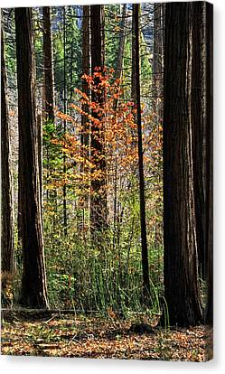 Fall In Yosemite Canvas Print by Cat Connor