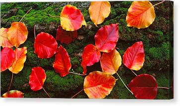 Fall Leaves Sacramento Ca Usa Canvas Print by Panoramic Images