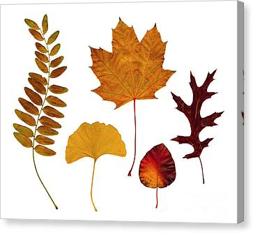 Fall Leaves Canvas Print by Tony Cordoza