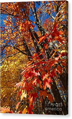 Fall Maple Forest Canvas Print by Elena Elisseeva