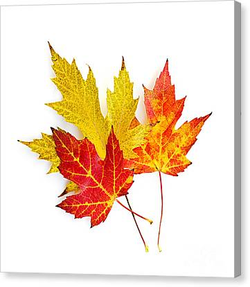 Fall Maple Leaves On White Canvas Print by Elena Elisseeva