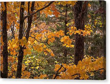 Fall Maples - 01 Canvas Print by Wayne Meyer