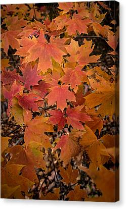 Canvas Print featuring the photograph Fall Maples - 03 by Wayne Meyer