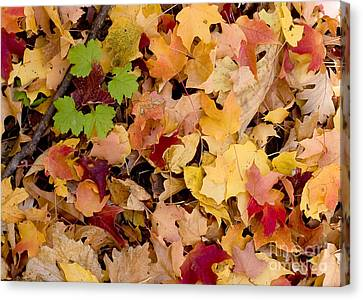 Fall Maples Canvas Print by Steven Ralser