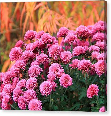 Fall Mums Canvas Print by Dan Sproul