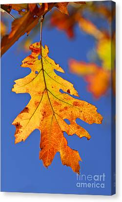 Fall Oak Leaf Canvas Print by Elena Elisseeva