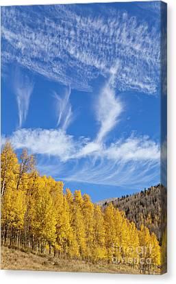 Quaking Aspen Canvas Print - Quaking Aspens In Fall by Yva Momatiuk John Eastcott