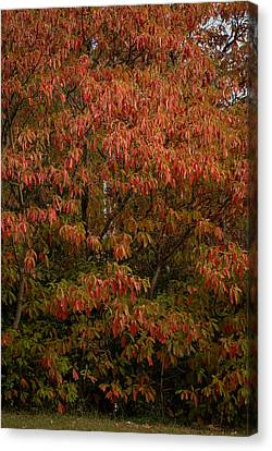Canvas Print featuring the photograph Fall Sassafras Trees by Wayne Meyer