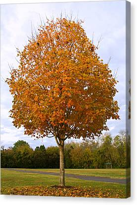 Fall Sugar Maple Canvas Print by Melinda Fawver