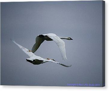 Canvas Print featuring the photograph Fall Swans by Al Fritz