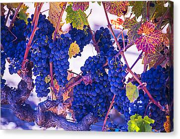 Fall Wine Grapes Canvas Print by Garry Gay