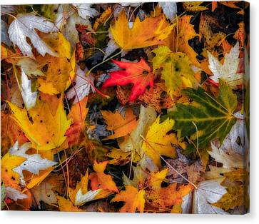 Canvas Print featuring the photograph Fallen Leaves by Dennis Bucklin