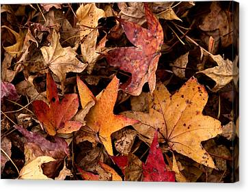 Fallen Leaves Canvas Print by Rebecca Davis