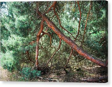 Falling Pine Tree In Veluwe National Park. Netherlands. Canvas Print by Jenny Rainbow