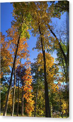 Falling Up The Maples Canvas Print