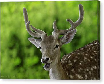 Fallow Deer Aka Dama Dama Canvas Print