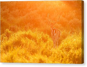 Fallow Deer At Sunset Canvas Print by Roeselien Raimond