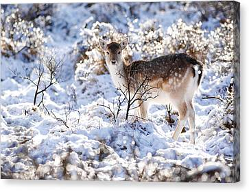 Fallow Deer In Winter Wonderland Canvas Print by Roeselien Raimond