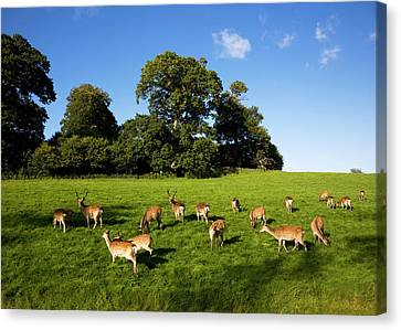 Fallow Deer In The Demesne, Doneraile Canvas Print by Panoramic Images