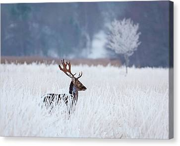 Fallow Deer In The Frozen Winter Landscape Canvas Print by Allan Wallberg