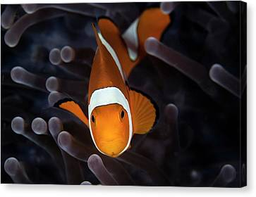 False Clownfish Canvas Print by Ethan Daniels