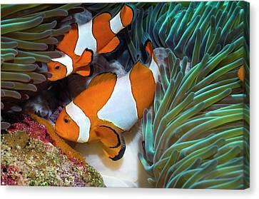 False Clownfish Spawning Canvas Print by Georgette Douwma