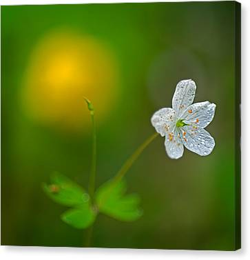 False Rue Anemone Canvas Print