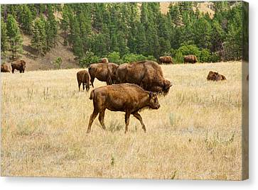 Families Of Bison Canvas Print