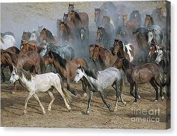 Family Band Of Mustangs  Canvas Print
