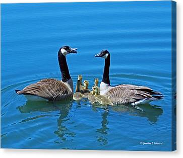 Family Canada Geese Canvas Print by Jonathan Whichard