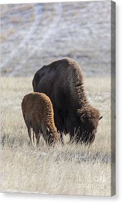Bison Calf Having A Meal With Its Mother Canvas Print