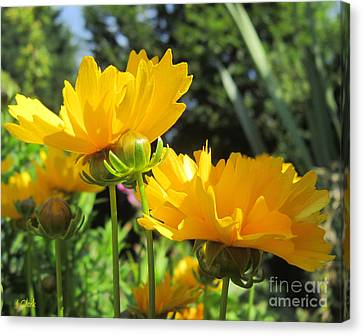 Coreopsis Canvas Print by John Clark