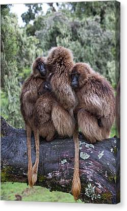 Family Of Gelada Baboons Huddled Together Canvas Print by Peter J. Raymond