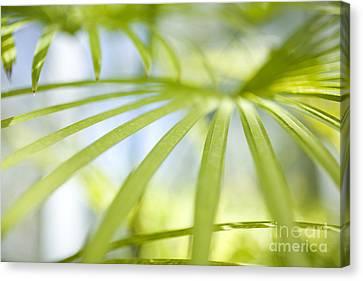 Fan Palm Fronds Canvas Print by Charmian Vistaunet