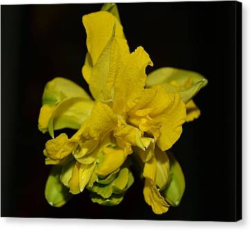 Canvas Print featuring the photograph Fancy Daffodil by Mary Zeman