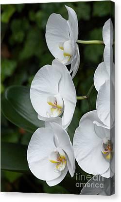 Fancy Orchid Canvas Print
