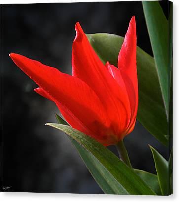 Fancy Tulip Canvas Print