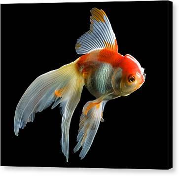 Fantail Goldfish Canvas Print