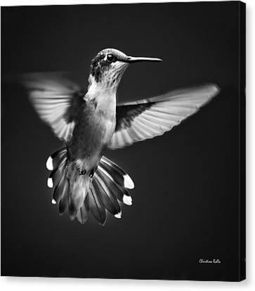 Fantail Hummingbird Canvas Print