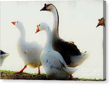 Farm Geese Canvas Print by Lynda Dawson-Youngclaus