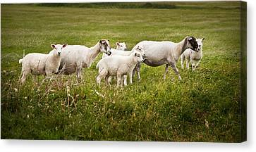Farm Sheep In Landscape On Stormy Summer Day Canvas Print by Matthew Gibson