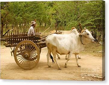 Farmer Driving An Ox Cart Old Bagan Burma Canvas Print