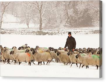 Farmer Feeding Sheep In Winter Canvas Print by Ashley Cooper