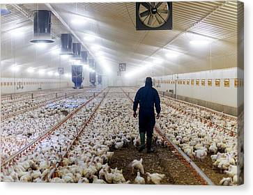 Farmer In A Barn With Hens Canvas Print by Aberration Films Ltd