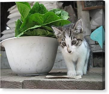 Farmstand Kitten Canvas Print