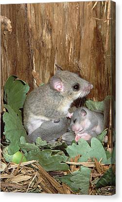 Fat Dormouse Mother Nursing Young Canvas Print by Konrad Wothe