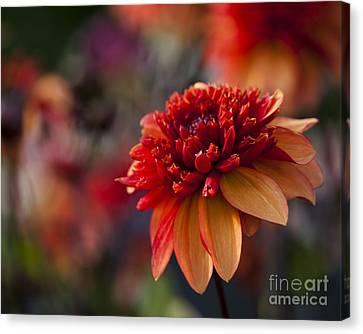 Close Up Floral Canvas Print - Fata Morgana by Anne Gilbert