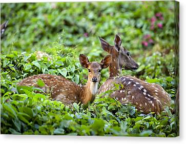 Fawn And Mother Deer In Forest Canvas Print by Paul Kennedy